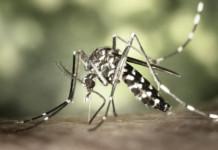 mosquito-Aedes-aegipty
