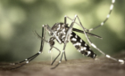 mosquito-Aedes-aegipty